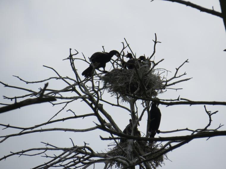 Juodkranté Neringa Lituanie oiseaux