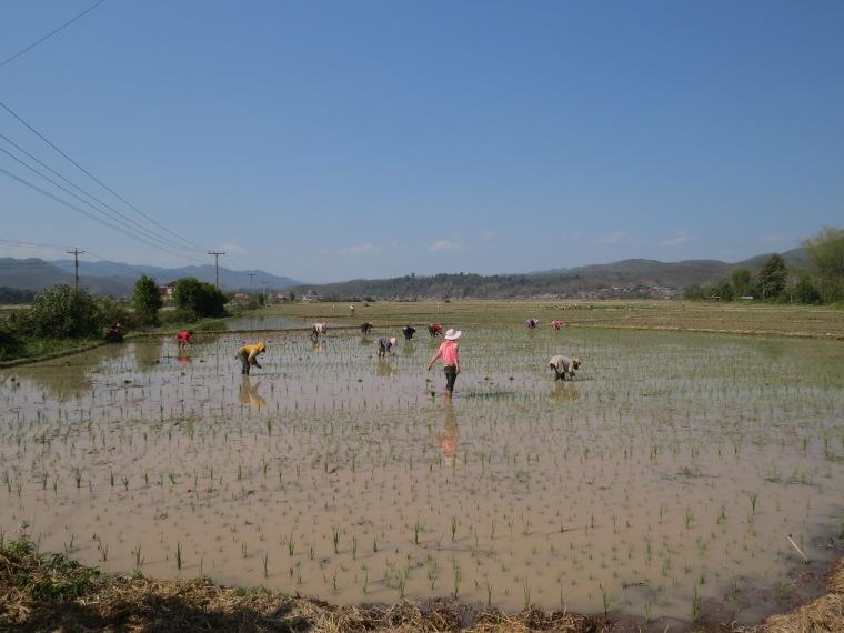 travail rizière laos