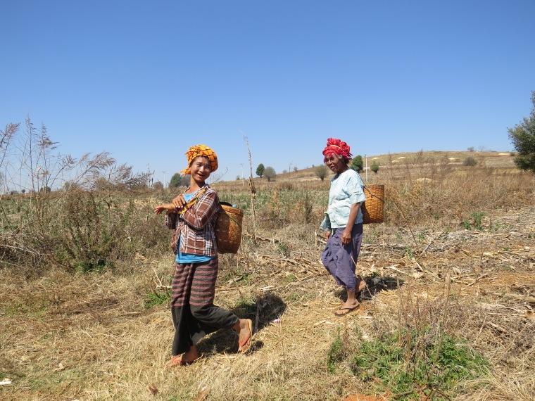Femmes aux champs - Kalaw - Myanmar