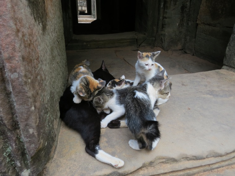 Photo de chat cambodge