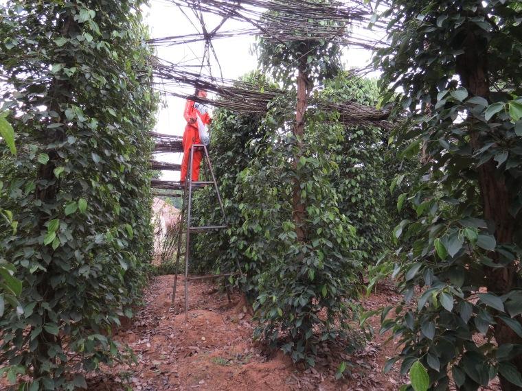 plantation poivre Kampot Cambodge