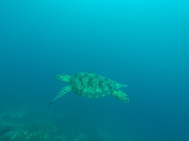 Snorkeling turtle port barton