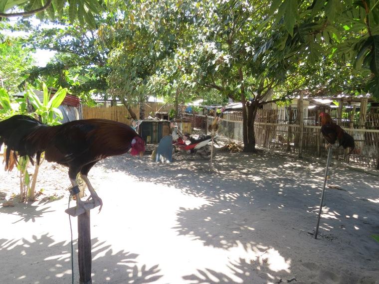 coq Malapascua
